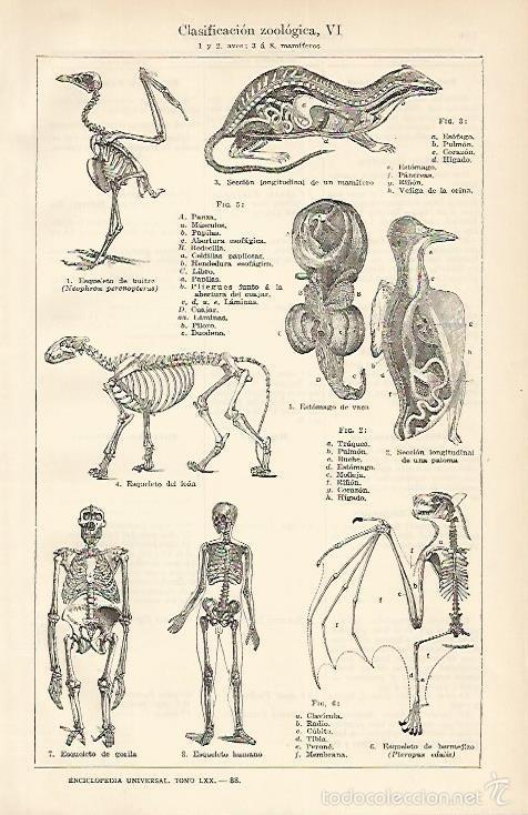 LAMINA ESPASA 1661: CLASIFICACION ZOOLOGICA: AVES Y MAMIFEROS (Coleccionismo - Laminas, Programas y Otros Documentos)
