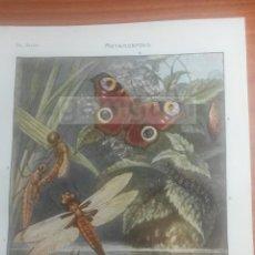 Coleccionismo: METAMORFOSIS BIOLOGIA - LAMINA DE DICCIONARIO ANTIGUO --AÑO 1912- (REF BF) 24.5 X 15,5 CM. Lote 56238957
