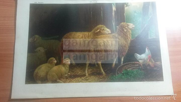 OVEJA ANIMAL BIOLOGIA - LAMINA DE DICCIONARIO ANTIGUO --AÑO 1912- (REF BF) 24.5 X 15,5 CM (Coleccionismo - Laminas, Programas y Otros Documentos)