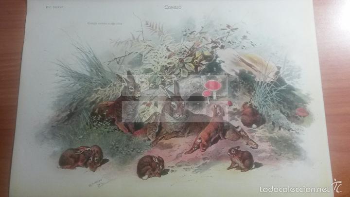 CONEJO ANIMALES BIOLOGIA - LAMINA DE DICCIONARIO ANTIGUO --AÑO 1912- (REF BF) 24.5 X 15,5 CM (Coleccionismo - Laminas, Programas y Otros Documentos)