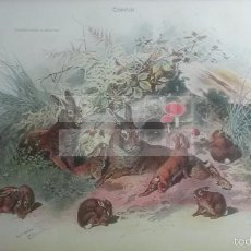 Coleccionismo: CONEJO ANIMALES BIOLOGIA - LAMINA DE DICCIONARIO ANTIGUO --AÑO 1912- (REF BF) 24.5 X 15,5 CM. Lote 56239249