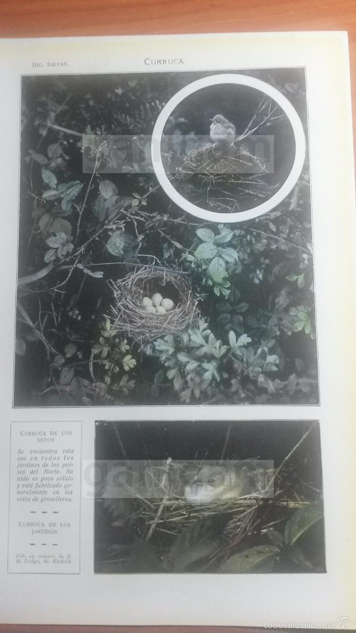 CURRUCA ANIMALES BIOLOGIA - LAMINA DE DICCIONARIO ANTIGUO --AÑO 1912- (REF BF) 24.5 X 15,5 CM (Coleccionismo - Laminas, Programas y Otros Documentos)