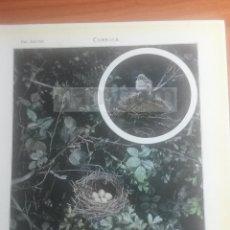 Coleccionismo: CURRUCA ANIMALES BIOLOGIA - LAMINA DE DICCIONARIO ANTIGUO --AÑO 1912- (REF BF) 24.5 X 15,5 CM. Lote 56239265