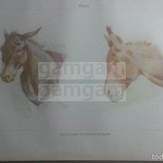 Coleccionismo: ASNO ANIMALES BIOLOGIA - LAMINA DE DICCIONARIO ANTIGUO --AÑO 1912- (REF BF) 24.5 X 15,5 CM. Lote 56239341