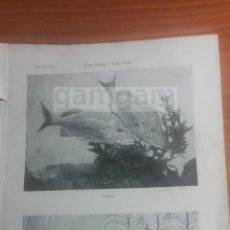 Coleccionismo: GRUÑETE GRUPER ANIMALES BIOLOGIA - LAMINA DE DICCIONARIO ANTIGUO --AÑO 1912- (REF BF) 24.5 X 15,5 CM. Lote 56239482