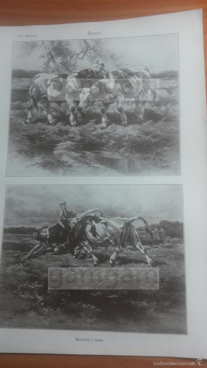 BUEY ANIMALES BIOLOGIA - LAMINA DE DICCIONARIO ANTIGUO --AÑO 1912- (REF BF) 24.5 X 15,5 CM (Coleccionismo - Laminas, Programas y Otros Documentos)