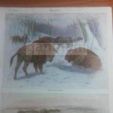 Coleccionismo: BISONTE ANIMALES BIOLOGIA - LAMINA DE DICCIONARIO ANTIGUO --AÑO 1912- (REF BF) 24.5 X 15,5 CM. Lote 56239539