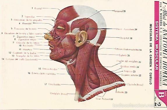 lamina 2156: sistema muscular. cabeza y cuello. - Comprar Documentos ...