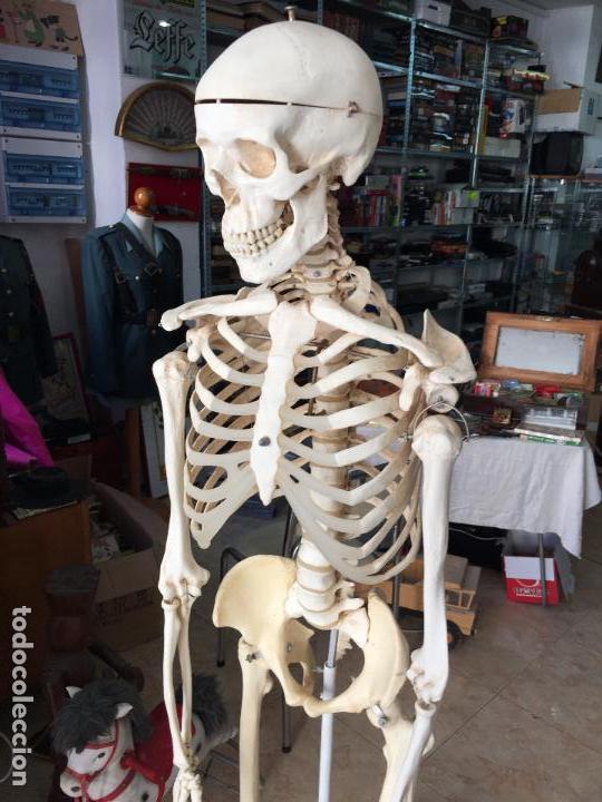 esqueleto tamaño real para el estudio de anatom - Comprar en ...