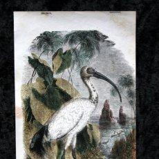 Coleccionismo: GRABADO COLOR - CA 1850 - ZANCUDAS - IBIS SAGRADO APROX. 22,4X12,5CM BUFFON. Lote 66235162