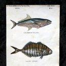 Coleccionismo: GRABADO COLOR - CA 1850 - PECES - CARANXOMORO - CARANGO ESCOMBRO BONITO - 21,4X12,5CM BUFFON. Lote 66451606