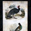 Coleccionismo: GRABADO COLOR - CA 1850 - GALLINACEAS - PAVO COMUN - FAISAN COMUN - APROX. 22,4X12,5CM BUFFON. Lote 66452034