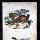 Coleccionismo: GRABADO COLOR - CA 1850 - GALLINACEAS -FAISAN DE COLLAR - CODORNIZ- PROX. 22,4X12,5CM BUFFON. Lote 66452274