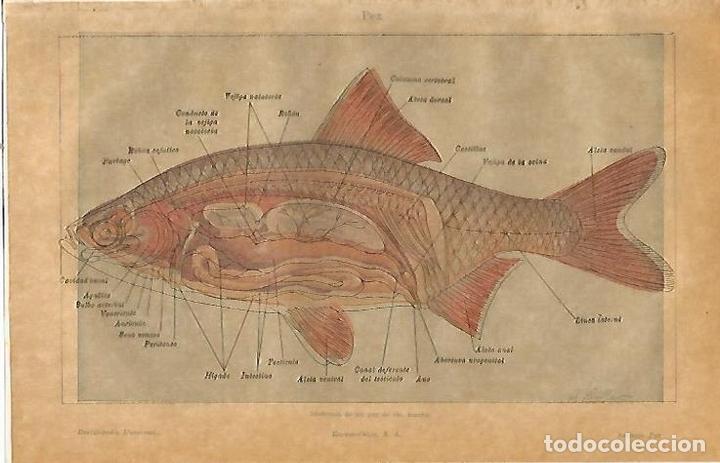 lamina espasa 23167: anatomia de un pez de rio - Comprar Documentos ...