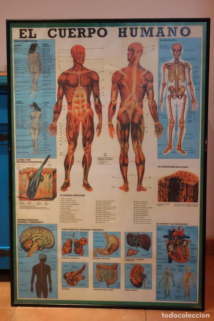 poster lámina vintage el cuerpo humano anatomia - Comprar Documentos ...