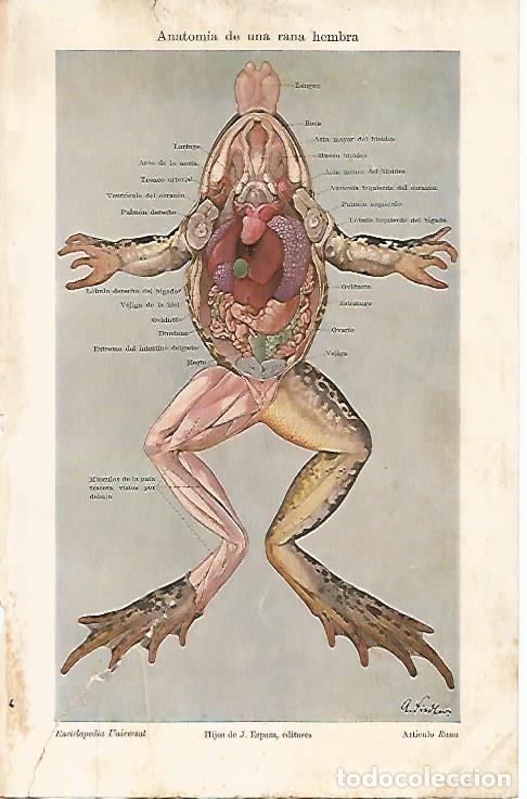 lamina espasa 5048: anatomia de una rana hembra - Comprar Documentos ...