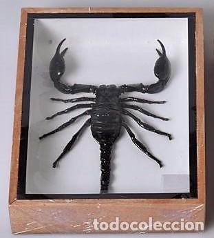 Coleccionismo: Escorpión selvático disecado en vitrina. Scorpion. - Foto 2 - 107557575