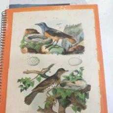 Coleccionismo: LAMINA AVES SIGLO XIX. Lote 109078811