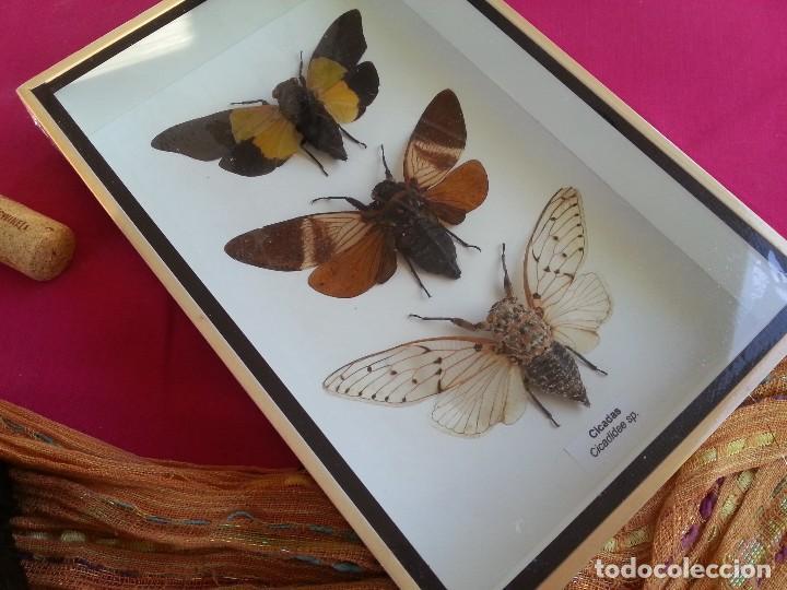 insectos disecados en vitrina. tres especies de - Comprar en ...