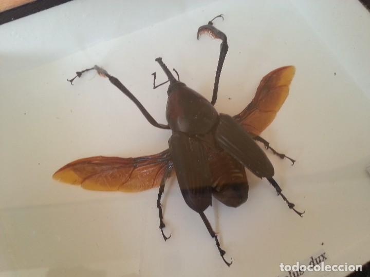 Coleccionismo: Escarabajo Disecado en vitrina. CYRTOTRACHELUS DUX. - Foto 2 - 111348327