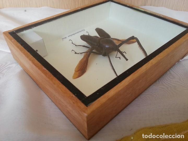Coleccionismo: Escarabajo Disecado en vitrina. CYRTOTRACHELUS DUX. - Foto 4 - 111348327