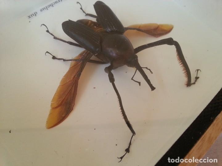 Coleccionismo: Escarabajo Disecado en vitrina. CYRTOTRACHELUS DUX. - Foto 5 - 111348327