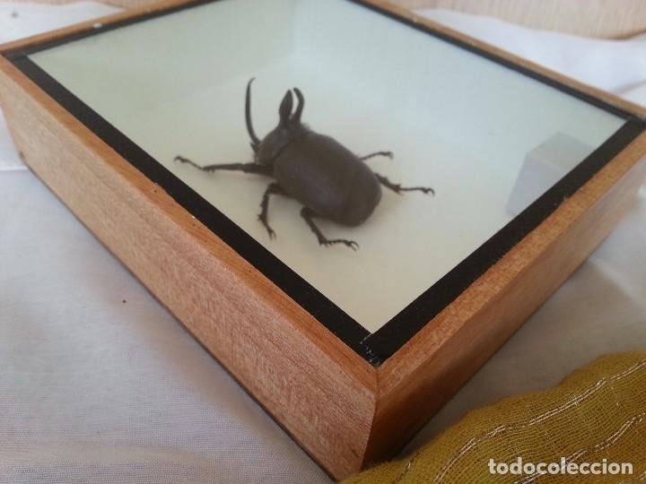Coleccionismo: Escarabajo Disecado en vitrina. EUPATORUS BIRMANICUS. - Foto 4 - 111369219