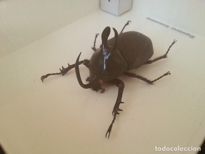 Coleccionismo: Escarabajo Disecado en vitrina. EUPATORUS BIRMANICUS. - Foto 5 - 111369219