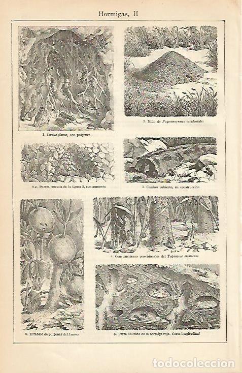 LAMINA ESPASA 4444: HORMIGAS (II) (Coleccionismo - Laminas, Programas y Otros Documentos)