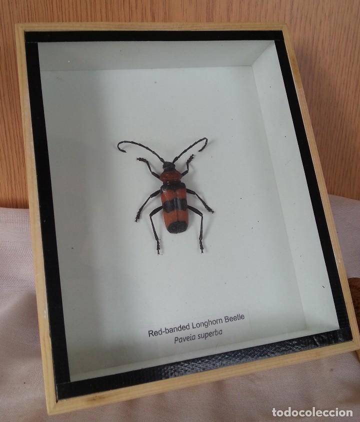 insecto escarabajo de cuerno rojo. paveia super - Comprar en ...