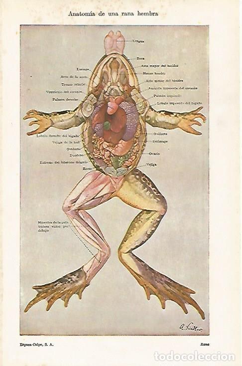 lamina espasa 15950: anatomia de una rana hembr - Comprar Documentos ...