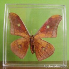 Coleccionismo: INSECTO MARIPOSA DISECADA ANTHERAEA FRITHI. Lote 127543011