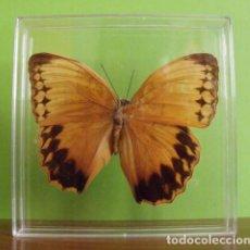 Coleccionismo: INSECTO MARIPOSA DISECADA STICHOPHTHALMA SP. Lote 127543271