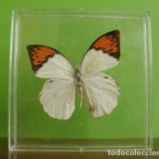 Coleccionismo: INSECTO MARIPOSA DISECADA HEBOMOIA GLAUCIPPE. Lote 127544275