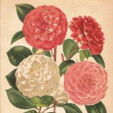 Coleccionismo: LÁMINA CAMELIAS. DICCIONARIO ENCICLOPÉDICO HISPANO-AMERICANO 1888. Lote 128106443