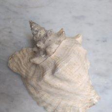 Coleccionismo: CONCHA MARINA. Lote 143279256