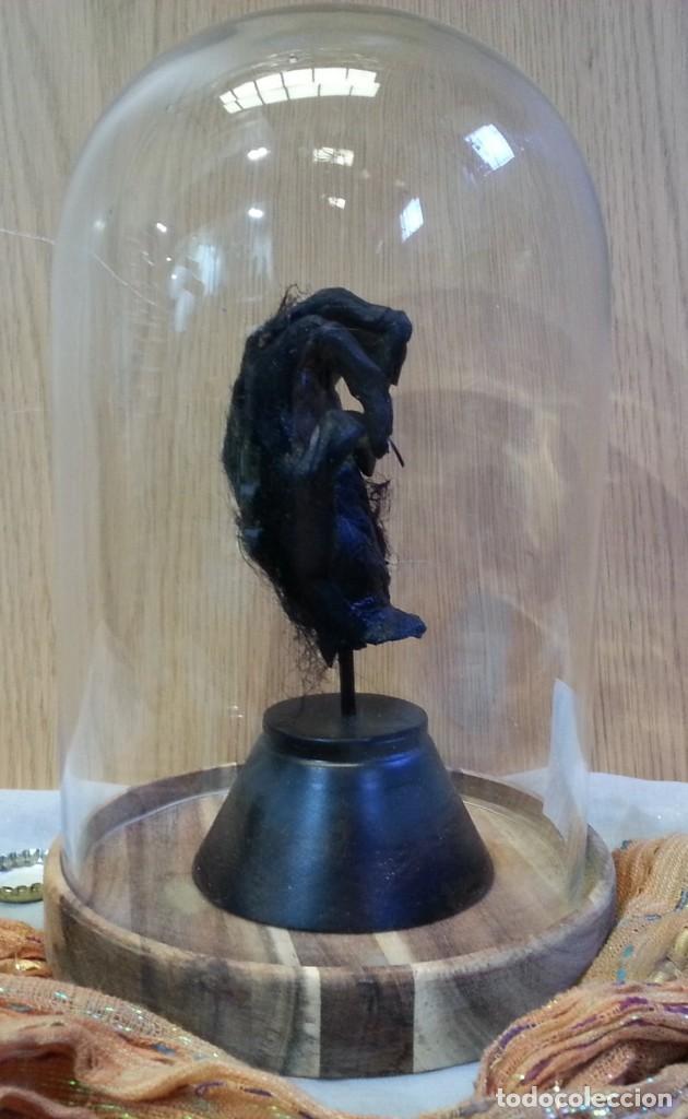 Coleccionismo: Mano con garras. Réplica de mano de mono del Congo en campana de vidrio. - Foto 4 - 148160382