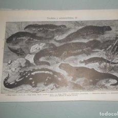 Coleccionismo: LÁMINA ESPASA .- URODELOS Y SALAMÁNDRIDOS - I Y II. Lote 155989898