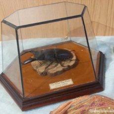 Coleccionismo: ESCARABAJO DISECADO EN VITRINA ACAMPANADA. DORCUS TITANUS.. Lote 158056334