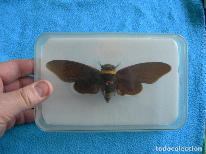 Coleccionismo: Mariposa disecada cigarra insecto cuadro vitrina - Foto 2 - 159759246