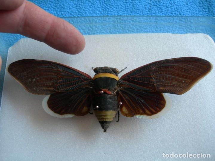 Coleccionismo: Mariposa disecada cigarra insecto cuadro vitrina - Foto 3 - 159759246