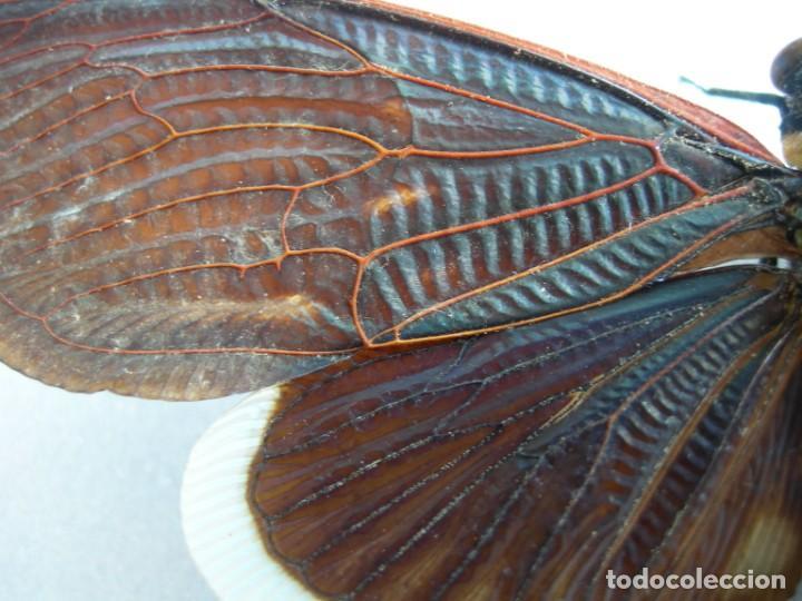 Coleccionismo: Mariposa disecada cigarra insecto cuadro vitrina - Foto 4 - 159759246