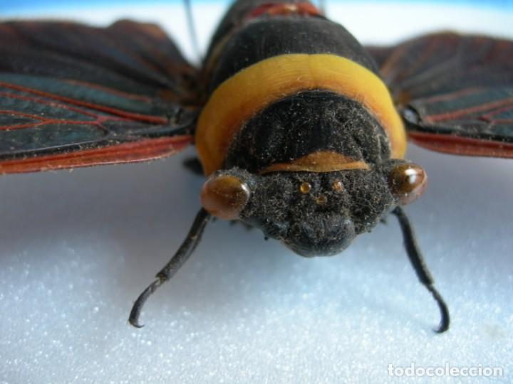 Coleccionismo: Mariposa disecada cigarra insecto cuadro vitrina - Foto 7 - 159759246