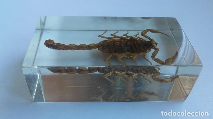 Coleccionismo: Escorpión o alacrán disecado en vitrina o urna compacta símil cristal. - Foto 2 - 162817718