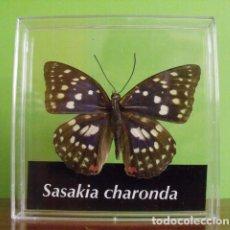 Coleccionismo: INSECTO MARIPOSA DISECADA SASAKIA CHARONDA. Lote 167471521