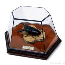 Coleccionismo: ESCARABAJO DISECADO EN VITRINA ACAMPANADA. DORCUS TITANUS.. Lote 167685332