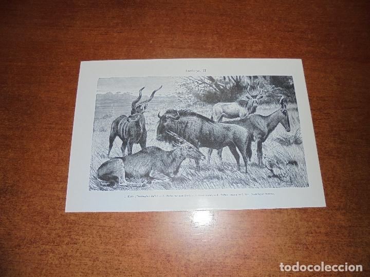 Coleccionismo: ANTIGUA LÁMINA: ANTÍLOPE I Y II - Foto 2 - 171640032
