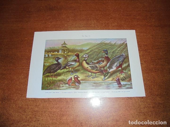 Coleccionismo: ANTIGUA LÁMINA: ÁNADES I Y II - Foto 2 - 171640138