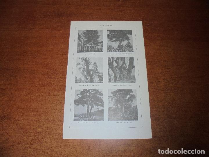 ANTIGUA LÁMINA: ÁRBOLES CÉLEBRES. GUERNICA. DE LA NOCHE TRISTE (MÉJICO). DE LA PAZ (CUBA). (Coleccionismo - Laminas, Programas y Otros Documentos)