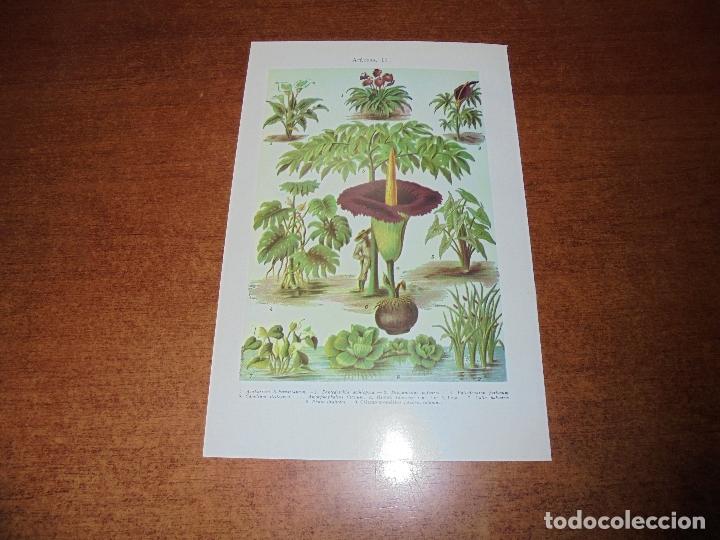 Coleccionismo: ANTIGUA LÁMINA: ARÁCEAS I Y II - Foto 2 - 171641997